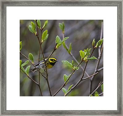 Townsends Warbler Framed Print