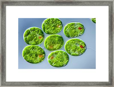Trachelomonas Sp. Protist Framed Print by Gerd Guenther