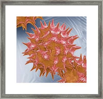 Tradescantia Pollen Grains Framed Print