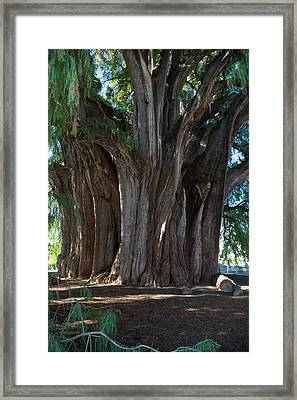 Tree Of Tule Framed Print by Jim West
