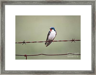 Tree Swallow Framed Print by James L. Amos