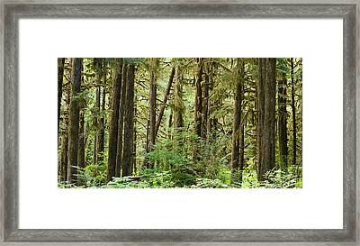 Trees In A Forest, Quinault Rainforest Framed Print