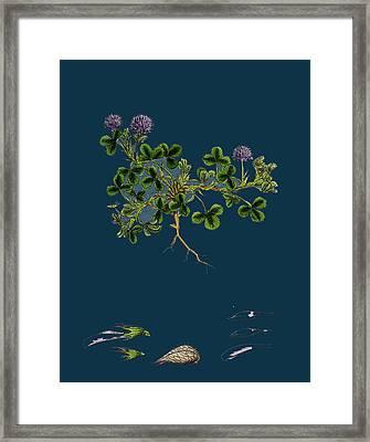 Trifolium Resupinatum Reversed-flowered Trefoil Framed Print by English School