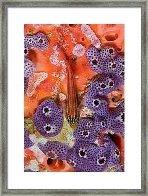 Triplefin Fish (tripterygiidae Framed Print