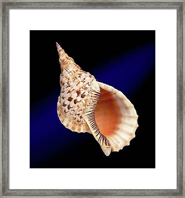 Triton's Trumpet Shell Framed Print by Natural History Museum, London