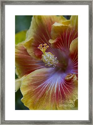 Tropical Hibiscus - Maui Hawaii Framed Print by Sharon Mau