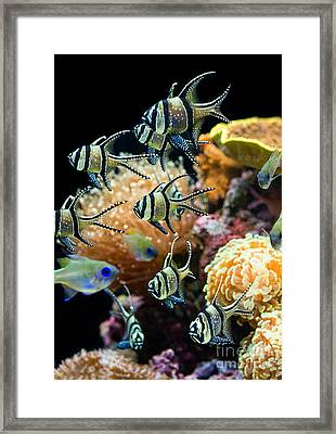 Tropical Wonderland - Banggai Cardinalfish Framed Print