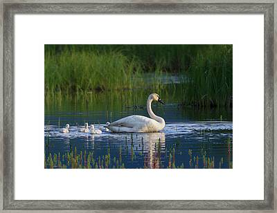 Trumpeter Swan With Cygnets Framed Print