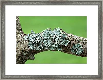 Tube Lichen Framed Print by Nigel Downer
