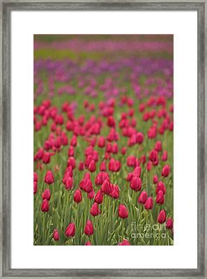 Tulip Beds Forever Framed Print