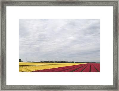 Tulip Fields In The Netherlands Framed Print