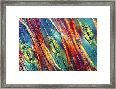 Tulip Stomata Framed Print by Marek Mis