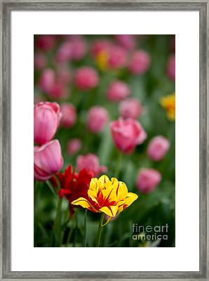 Tulips Framed Print by Amy Cicconi