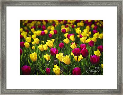 Tulips Framed Print by Elena Elisseeva