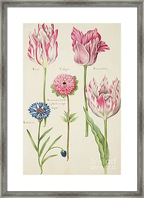 Tulips Framed Print by Nicolas Robert