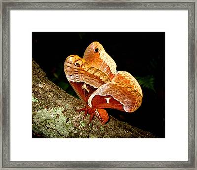 Framed Print featuring the photograph Tuliptree Silkmoth by William Tanneberger