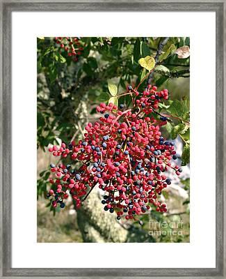 Turpentine Fruit Pistacia Terebinthus Framed Print by Martyn F. Chillmaid