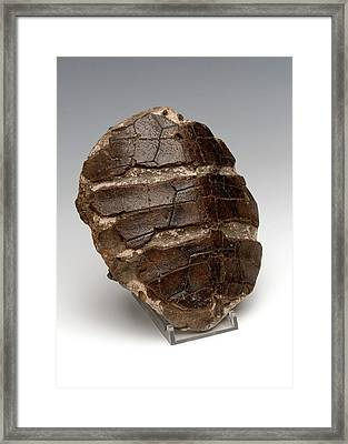Turtle Shell Fossil Framed Print