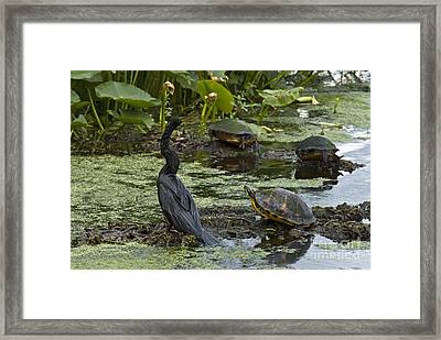 Turtles And Anhinga Framed Print by Mark Newman