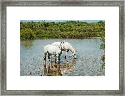 Two Camargue White Horses In A Lagoon Framed Print by Panoramic Images
