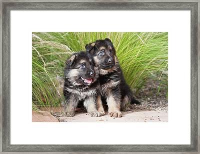 Two German Shepherd Puppies Sitting Framed Print by Zandria Muench Beraldo