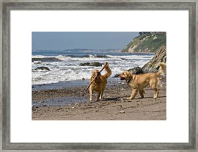 Two Golden Retrievers Playing Framed Print