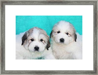 Two Great Pyrenees Puppies Sitting Framed Print