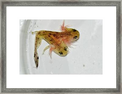 Two-headed Salamander Tadpole Framed Print