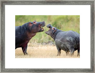Two Hippopotamuses Hippopotamus Framed Print by Panoramic Images
