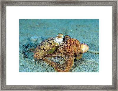 Two Octopi Mating Framed Print by Andrew J. Martinez
