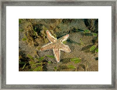 Two-spined Sea Star Framed Print by Andrew J. Martinez