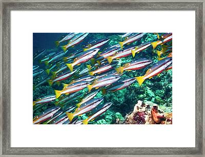 Two-spot Banded Snappers Framed Print by Georgette Douwma