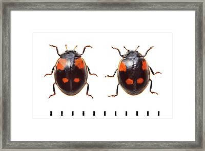 Two-spot Ladybird Framed Print by Natural History Museum, London