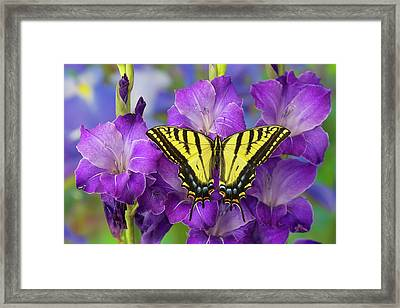 Two-tailed Swallowtail Butterfly Framed Print