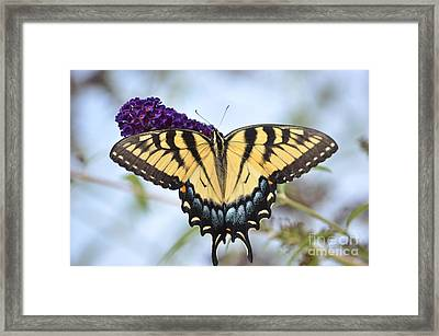 Two  Tailed Swallowtail Framed Print by Kathy Gibbons