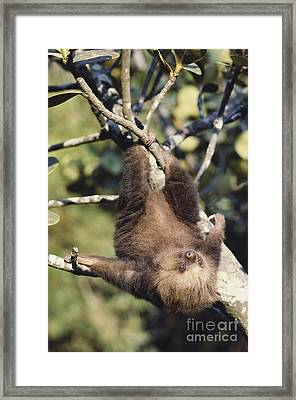 Two-toed Sloth Framed Print