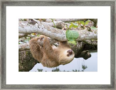 Two-toed Sloth Framed Print by M. Watson
