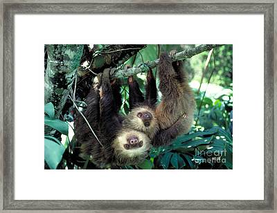 Two-toed Sloths Framed Print by Gregory G. Dimijian