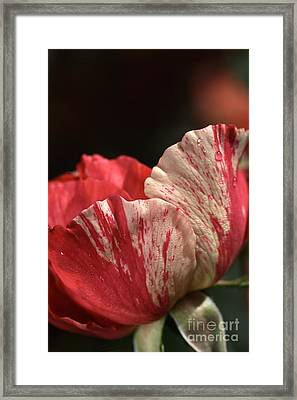 Two Toned Rose Framed Print by Joy Watson