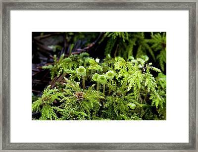 Umbrella Moss (leucolepis Acanthoneuron) Framed Print by Bob Gibbons