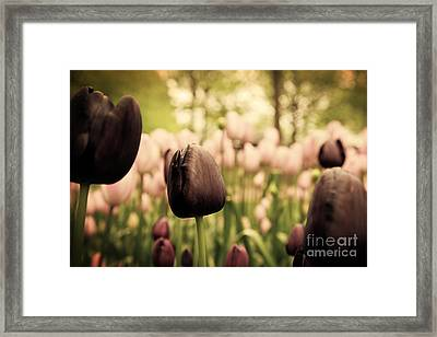 Unique Black Tulip Flowers In Green Grass Framed Print by Michal Bednarek