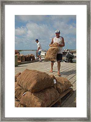 Unloading Harvested Oysters Framed Print