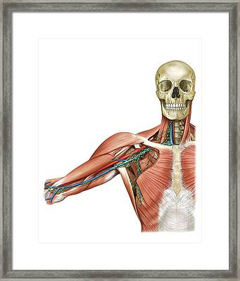 Upper Body Lymphoid System Framed Print by Asklepios Medical Atlas