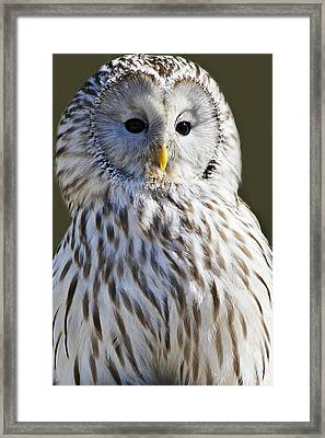 Ural Owl Framed Print by Paulette Thomas