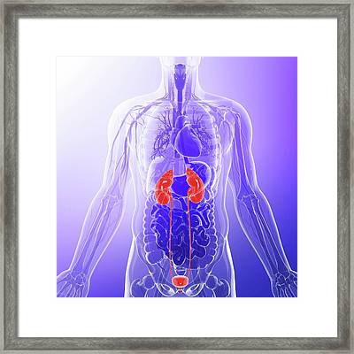Urinary System Framed Print by Pixologicstudio