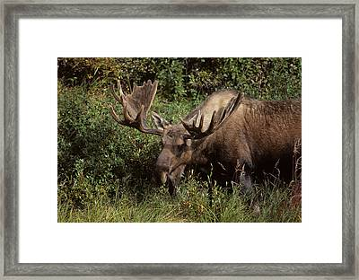 Usa, Alaska, Bull Moose, Denali Framed Print by Gerry Reynolds