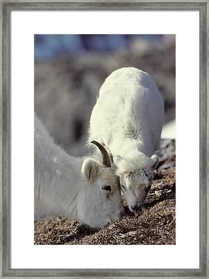 Usa, Alaska, Dall Sheep, Ewe, Ewe Framed Print by Gerry Reynolds