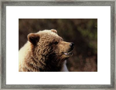 Usa, Alaska, Grizzly Bear, Denali Framed Print by Gerry Reynolds