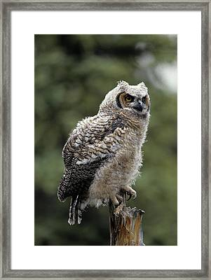 Usa, Alaska, Juvenile Great Horned Owl Framed Print