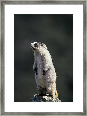 Usa, Alaska, Marmot, Denali National Framed Print